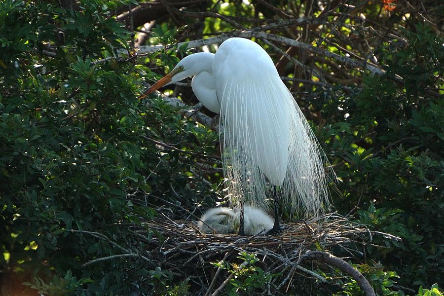 Amerikanischer Silberreiher - Great Egret (Ardea alba egretta)