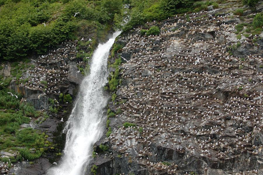 Brutplätze von Bering- und Dreizehenmöwen (Alaska, Juli 2008)