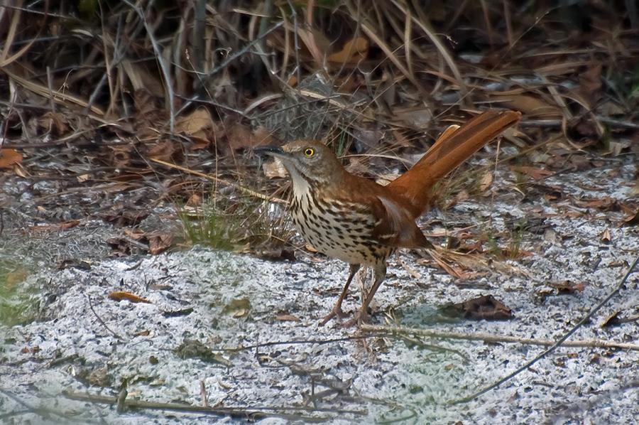Rotrücken-Spottdrossel (Florida, Februar 2012)
