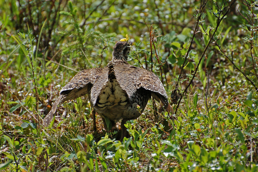 Spitzschwanzhuhn ♀ (Alaska, Juni 2008)