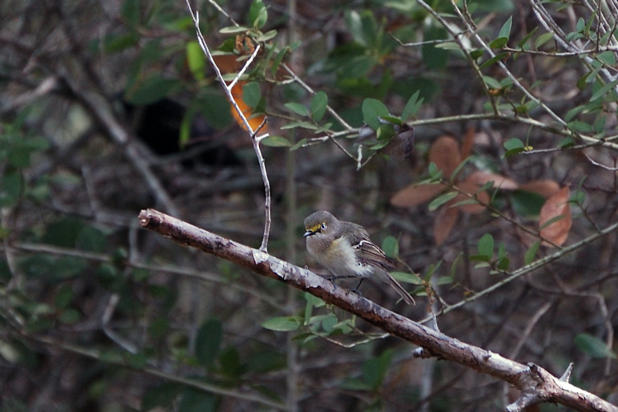 Weißaugenvireo (Texas, April 2009)
