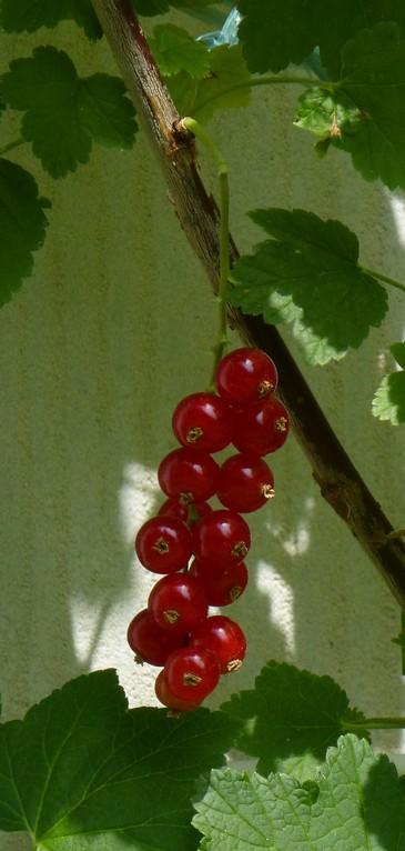Rote Johannisbeeren für unseren Graupapagei