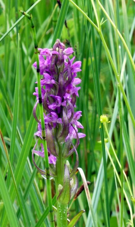 Wahrscheinlich eine Art von Händelwurz (heimische Orchidee)
