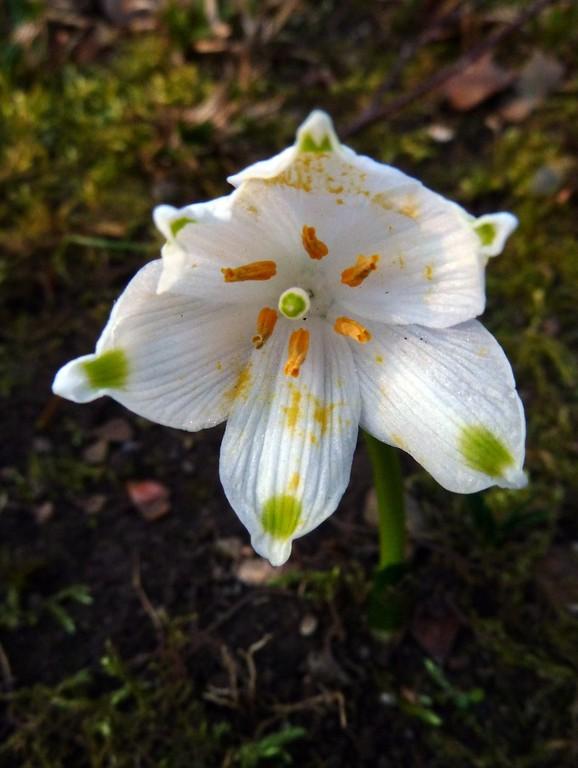 Frühlingsknotenblume - der Tisch ist gedeckt!