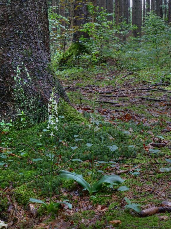 Waldhyazinthe (heimische Orchidee)