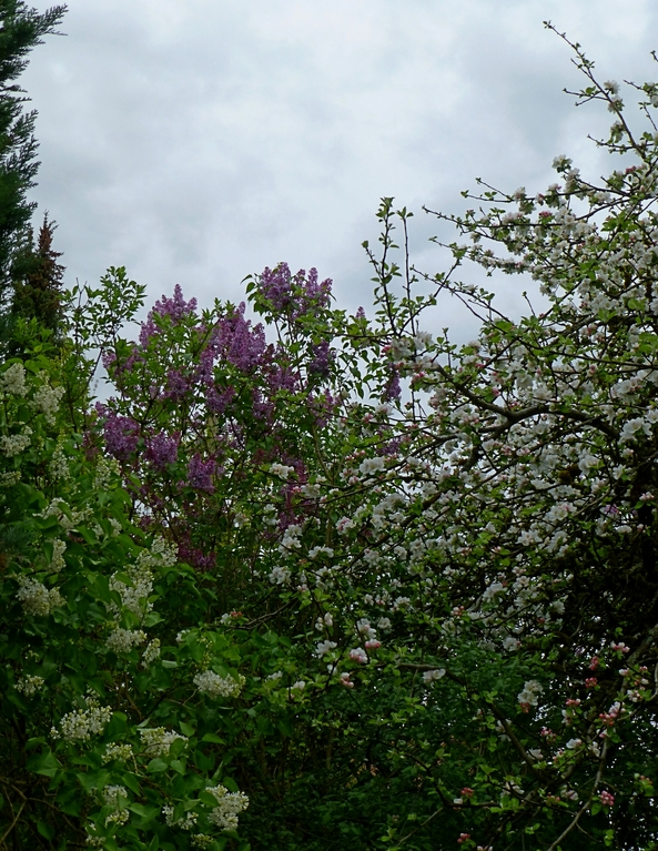 Zweierlei Flieder und Apfelbaum