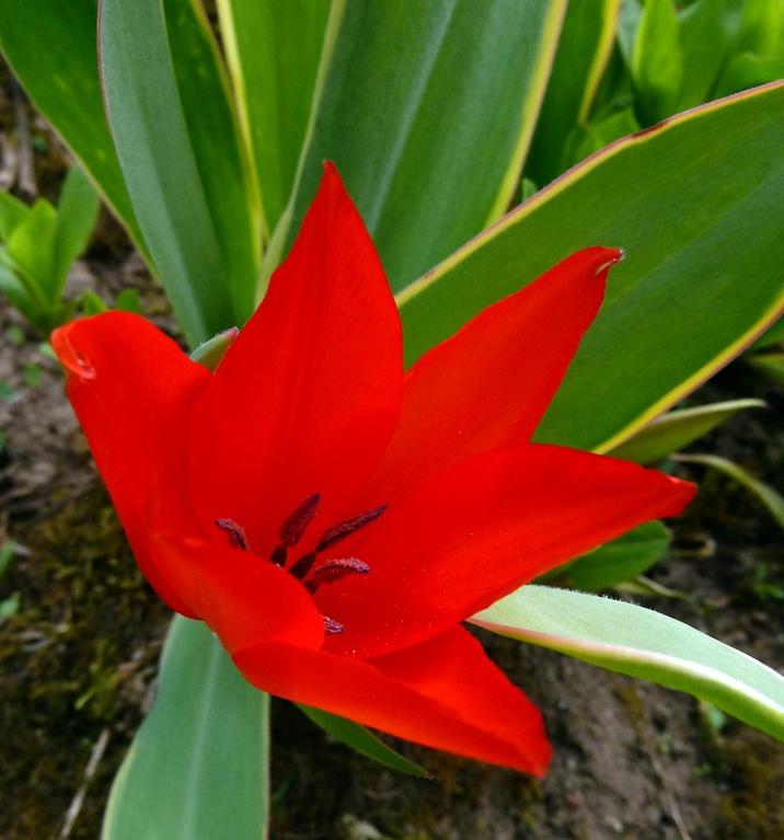Erste Tulpe