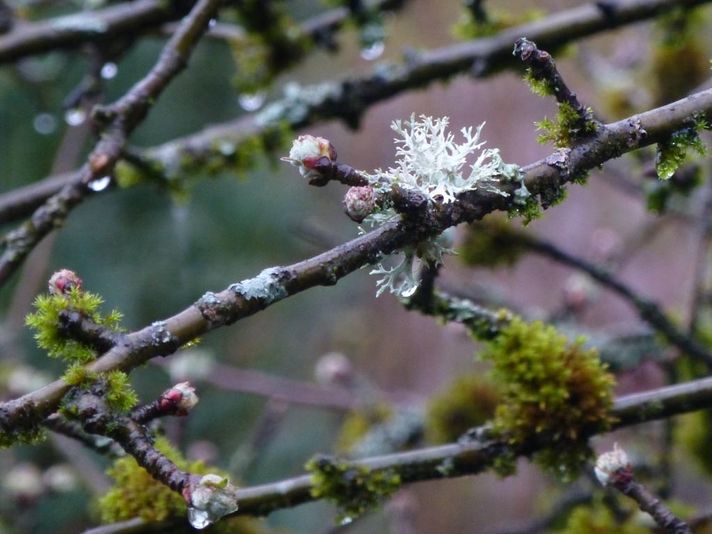 Flechten und Moos auf dem Apfelbaum