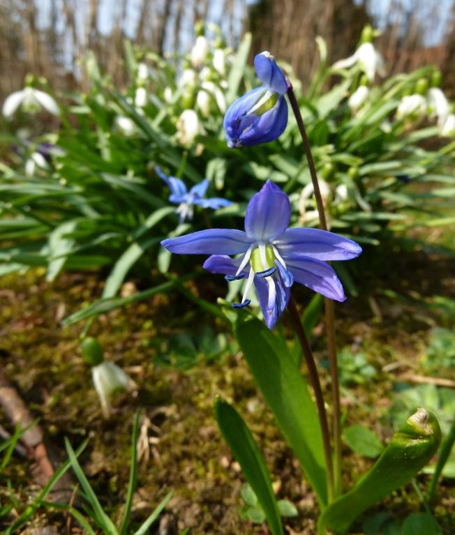 Im Garten: Blausternchen