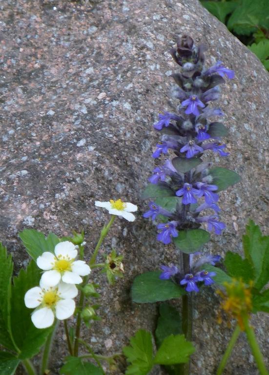 Erbeerblüten und kriechender Günsel