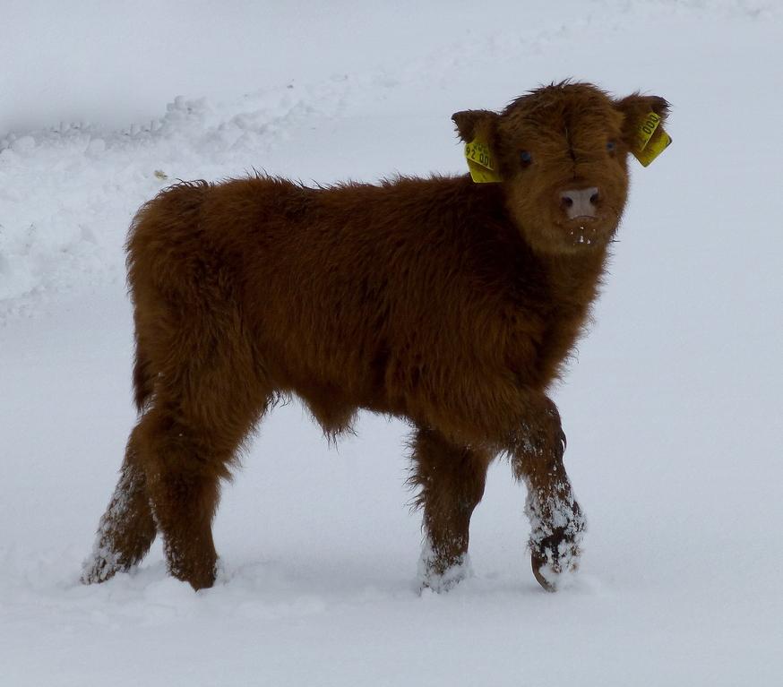 Schottisches Highland Cattle