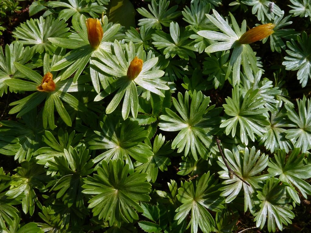Im Garten: Die Winterlinge sind schon abgeblüht