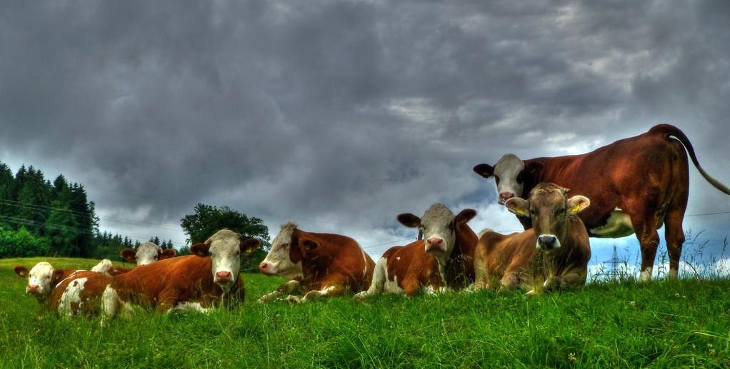 Glückliche Kühe auf der Ludwigshöhe
