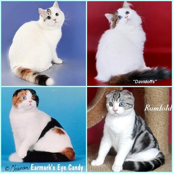 окрасы шотландских кошек картинки и название город только