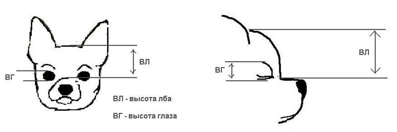отличий стандарт чихуахуа в картинках габионы применяются только