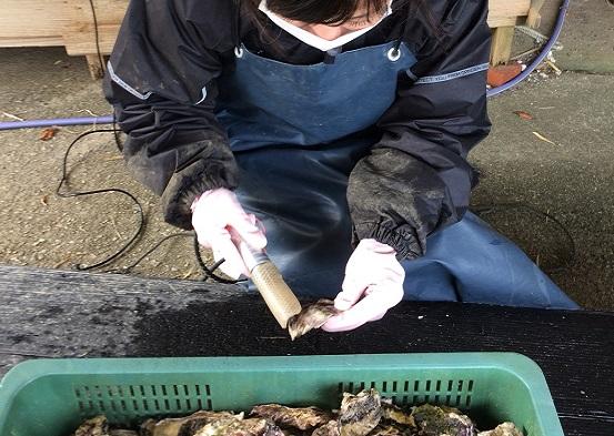 マガキについた小さいフジツボ等をグラインダーを使って除去していきます