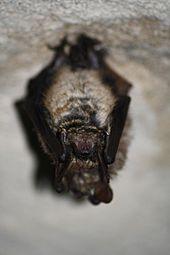 Wimperfledermaus, Myotis emarginatus, Natura 2000, Hergenrath, Kelmis, Göhl, Geul, Gueule,Völkersberg, Belgien