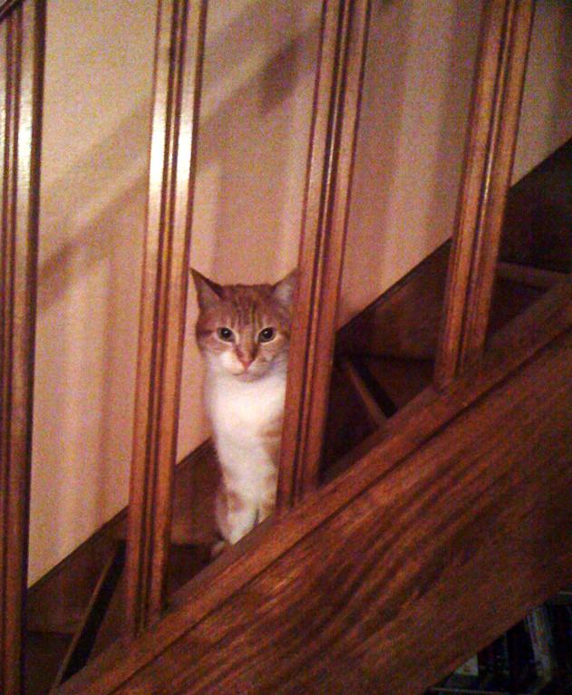 Petit chat roux européen curieux