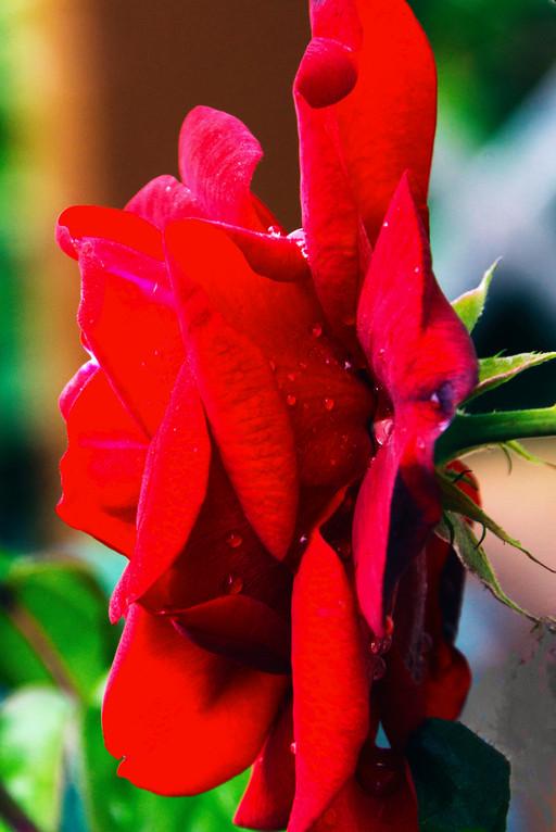 Rose rouge de profil