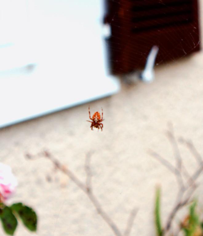 Araignée accrochée à sa toile