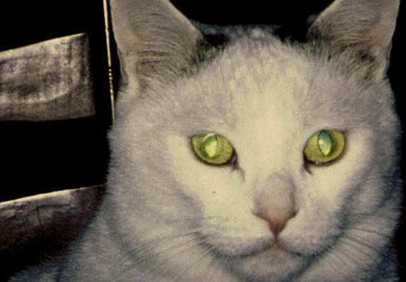 Petit chat blanc européen