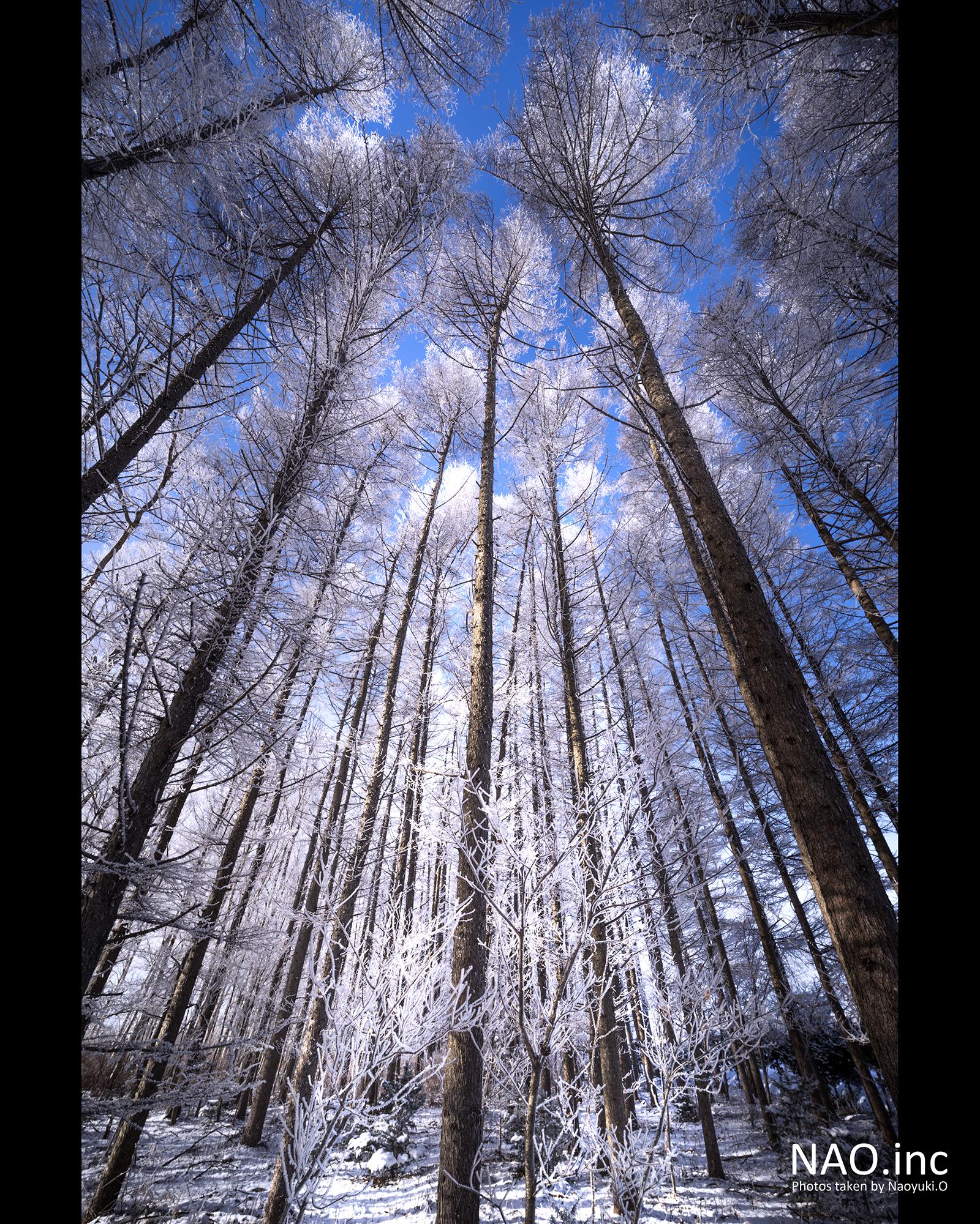 長沼町の防風林。