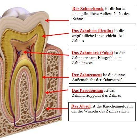 Anatomie - Furini Lorenz Zahnarzt / dentista Gais