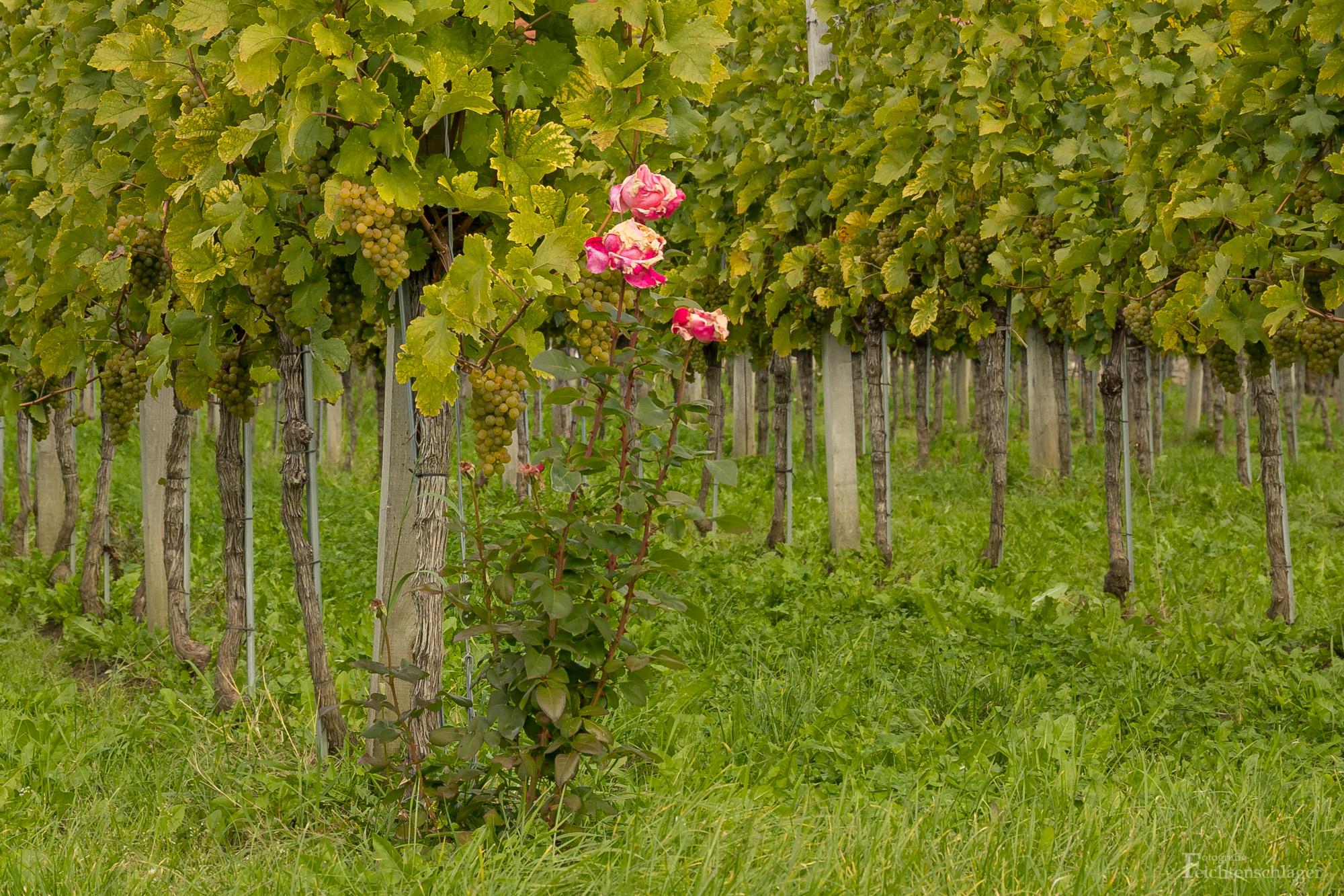 Rosen in den Weinbergen