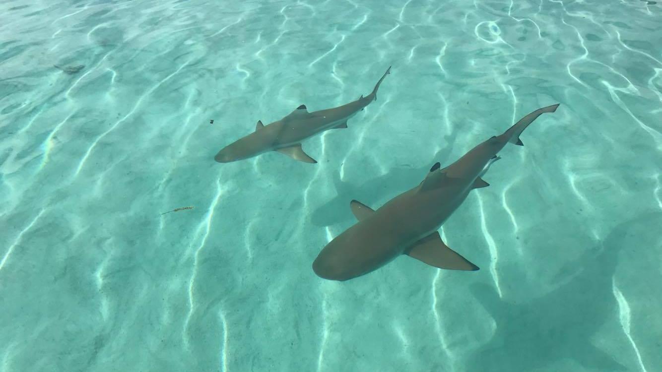 Requins à Moorea