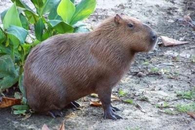 Chigüiro, Yulo,  capibara o carpincho