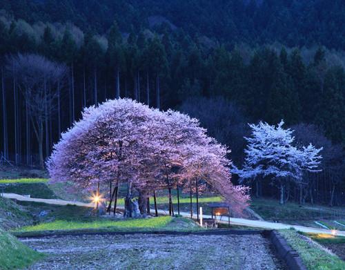桜 黒部のエドヒガン