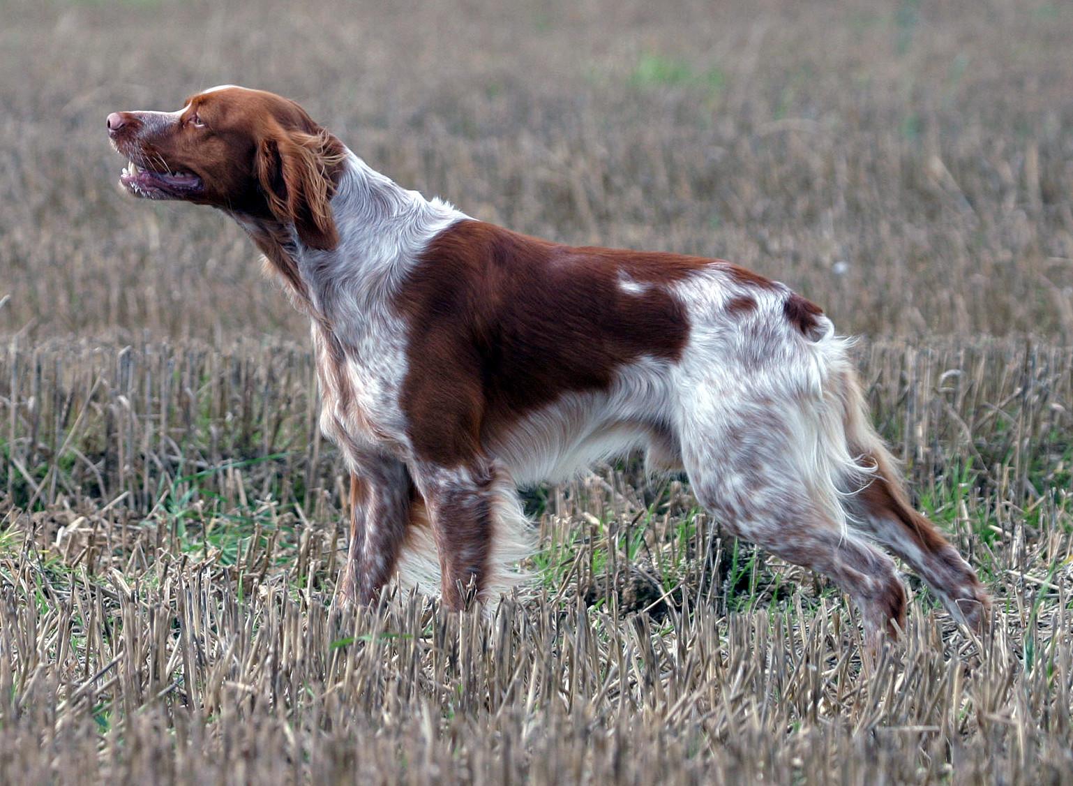 Bretonischer Vorstehhund (Epagneul Breton) - Bild: wikipedia