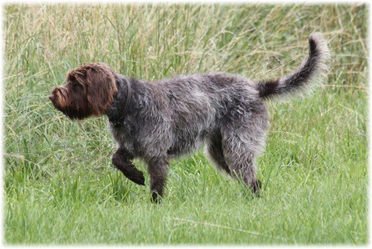 Griffon - Bild: vorstehhund.ch