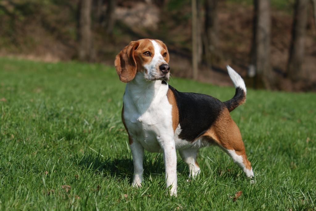 Beagle - Bild: moorhunde.de/djv