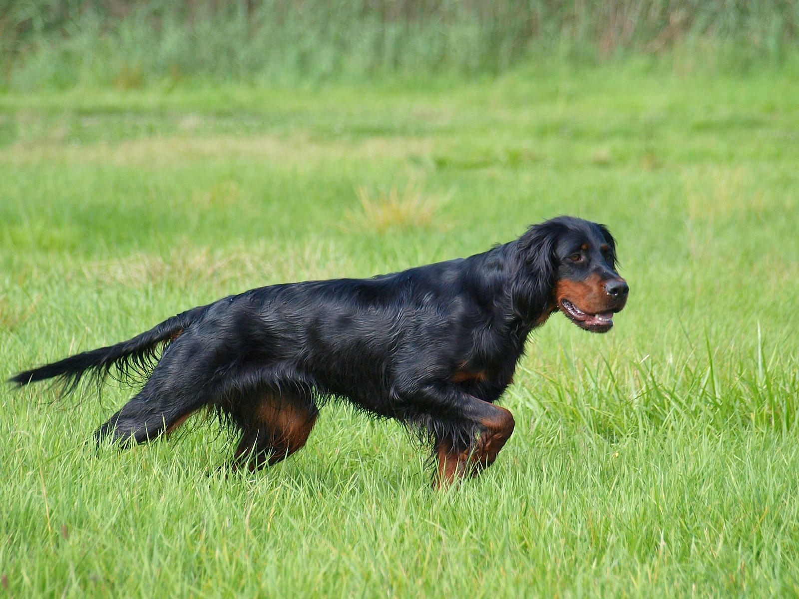 Gordon Setter - Bild: gordon-setter-field-artists.de