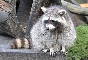 Waschbär 2 - Bild: Wikipedia-Quartl