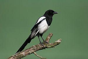 Elster - Foto: Wikipedia-diginatur