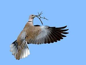 Türkentaube - Foto: Wikipedia-Joefrei