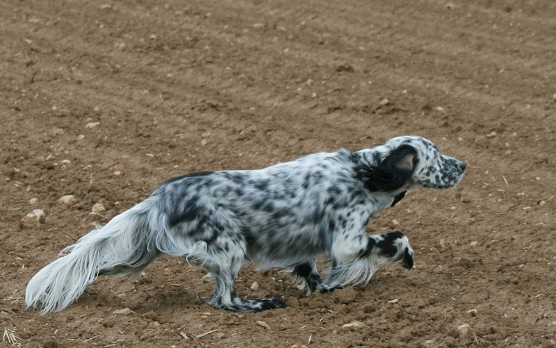 English Setter - Bild: english-setter-club.de