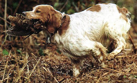 Bretonischer Vorstehhund - Bild: hundeinfos.de