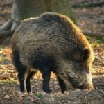 Wildschwein - Bild: wald.de-Carsten Przygoda