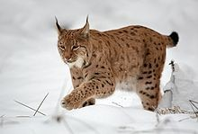 Luchs - Bild: raubkatzen.info-Martin Mecnarowski