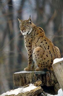 Luchs sitzend - Bild: Wikipedia-mpiet