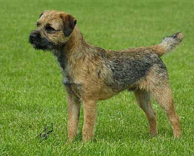 Border Terrier - Bild: dog-learn.com