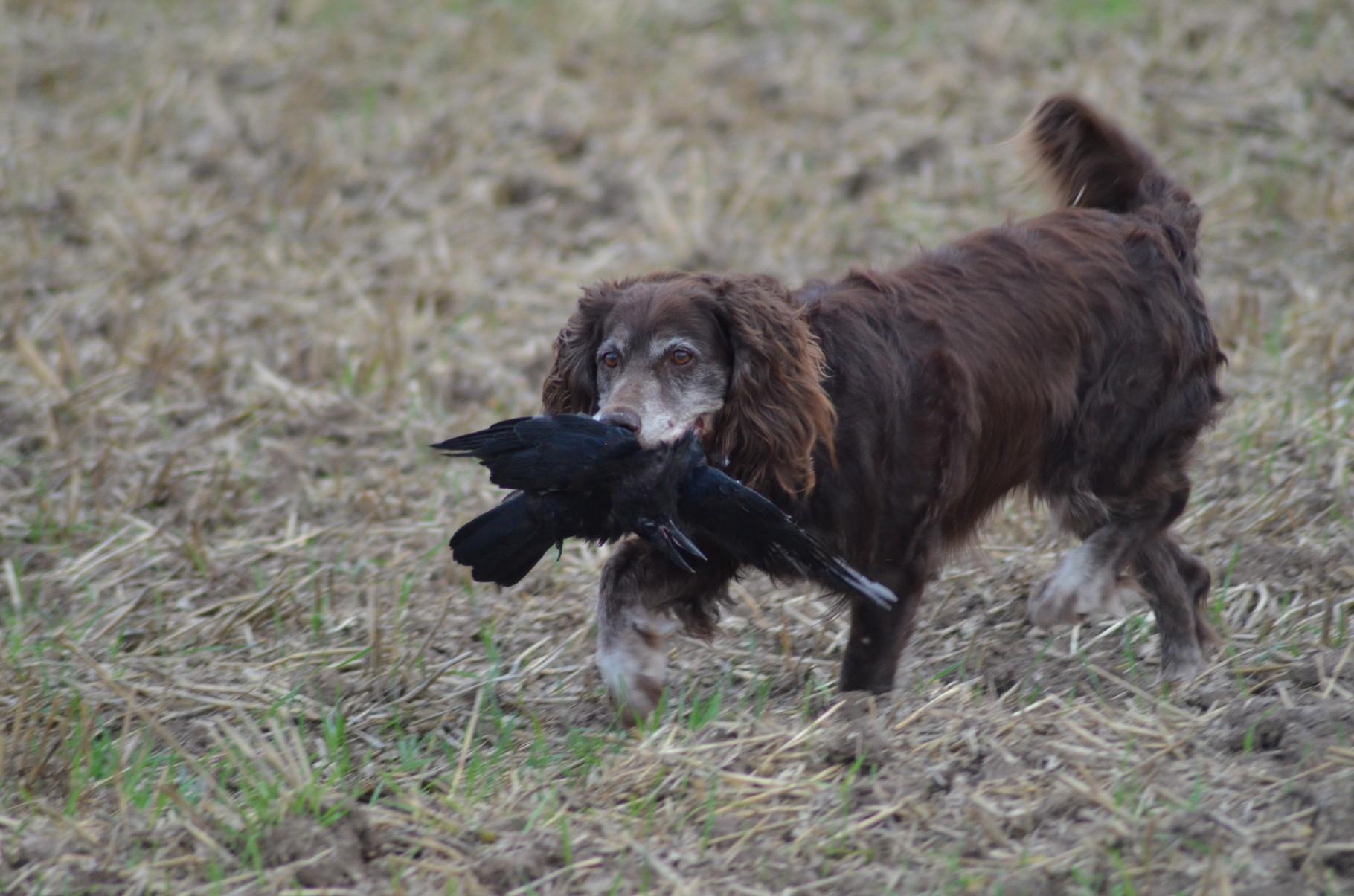 Deutscher Wachtelhund - Bild: Jäger-Alltag.de