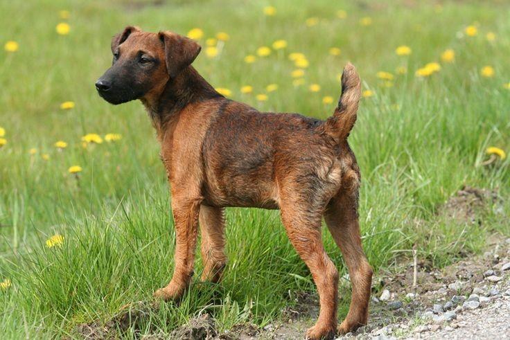 Westfalen Terrier - Bild: westfalenterriervonderheide.com