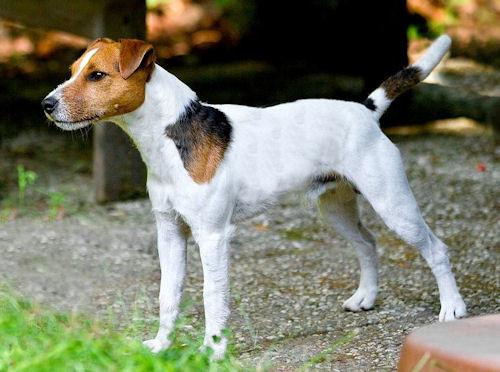 Parson Russel Terrier - Bild: animalsadda.com