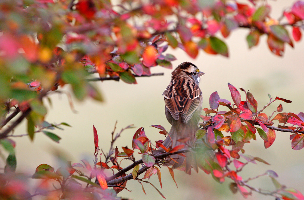 White-throated Sparrow. Minnesota