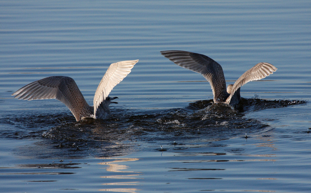 Iceland/Kumline's Gull (juvenile, left), Thayer's Gull (juvenile, right). Wisconsin