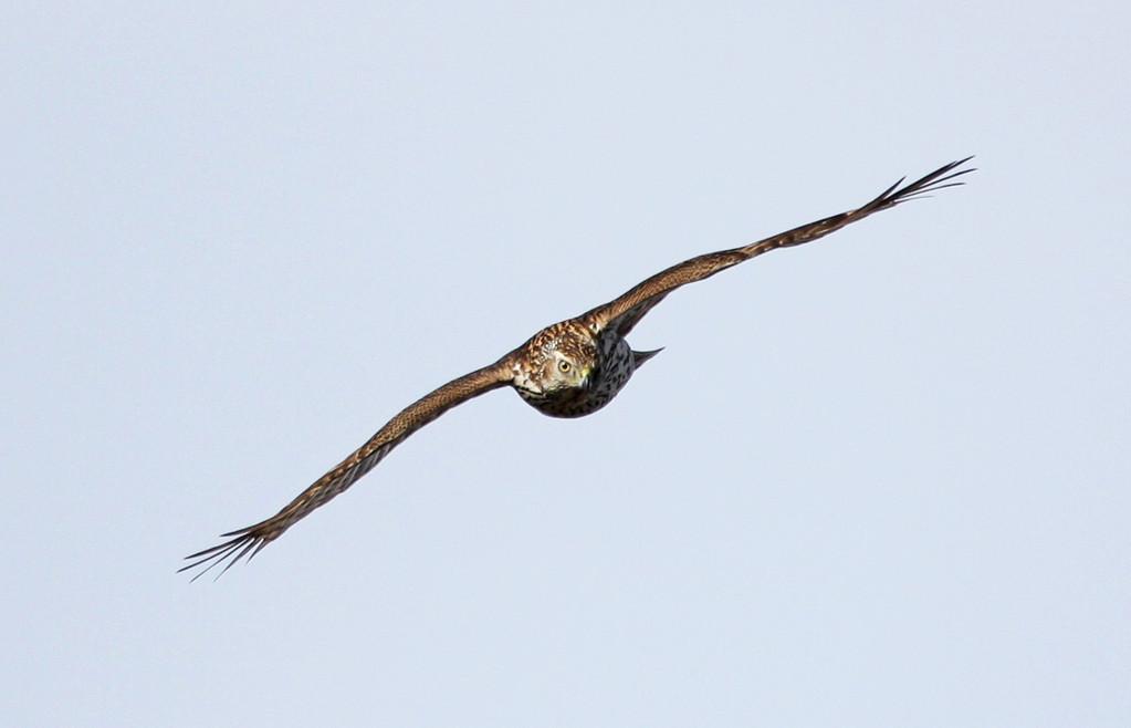 Northern Goshawk (juvenile). Minnesota